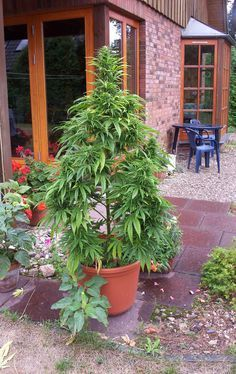 Growing Marijuana outdoors is an easy, inexpensive way to make your own tasty green harvest. I write about my experiences here. Marijuana Plants, Cannabis Plant, Medical Marijuana, Growing Weed, Weed Plants, Herbs, Flowers, Budget, Weed Art