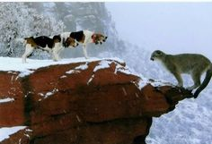 Walker Hounds with mountain lion.