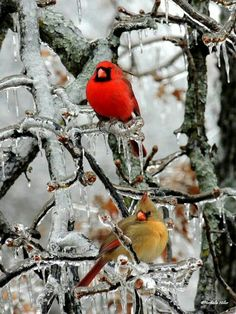 Pair of cardinals...so pretty