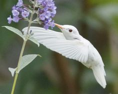 Rare albino ruby-throated hummingbird, in Staunton, Virginia ~ photographers Marlin Shank, aged 16, Shaphan Shank, 14, Darren Shank, 12 & Allen Shank, 9.  Amazing photos at the site this pic is linked to!    . . . .   ღTrish W ~ http://www.pinterest.com/trishw/  . . . .  #nature #hummingbird #albino