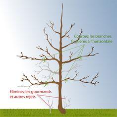 Arbre fruitier demi-tige : choix d'un arbre fruitier demi-tige