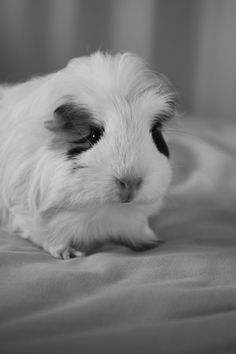 ALL I WANT IS GUINEA PIGS AND HAMSTERS :3
