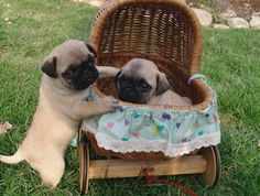 Komm, ich fahre mit dir Gassi! :) | petssync.com | #Mops #Pug