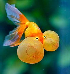 Funny Goldfish Bubble Eye