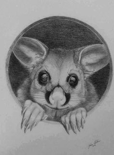 Australian possum rescued by WIRES and eventually returned to the wild. Commissioned piece January 2016, Mars Lumograph pencil on Kent smooth paper. - artist John Beattie. (c)