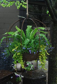 At A Glance: Rob's Pots | Dirt Simple: bird's nest fern, lobelia, and creeping jenny in one of his grow spheres.