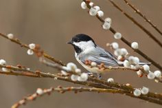 "Pastel Chickadee Painting ""Berry Cute"" - Wildlife painting ..."