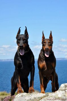 The Doberman Pinscher is among the most popular breed of dogs in the world. Known for its intelligence and loyalty, the Pinscher is both a police- favorite Big Dogs, Cute Dogs, Dogs And Puppies, Doggies, European Doberman, Doberman Pinscher Puppy, Doberman Puppies, Doberman Love, Service Dogs