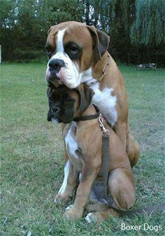 Looks like this Boxer found the perfect headrest. and it's another Boxer! Your dog is a member of your human family and may even have a family of his or her own. Cute Puppies, Dogs And Puppies, Cute Dogs, Doggies, Baby Animals, Funny Animals, Cute Animals, Beautiful Dogs, Animals Beautiful
