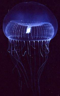 Bioluminescence - tube torus light in a jellyfish!