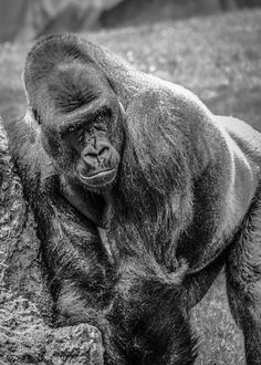 King Kong - 500px Photo ID: 153785607 - Gorila@Bioparc