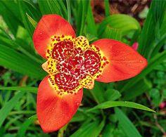 Tigrida Pavonia flower....