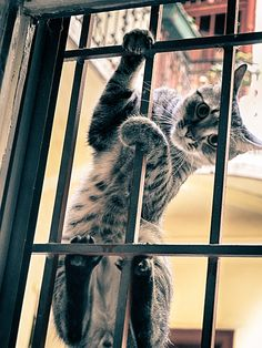 climbing housecat