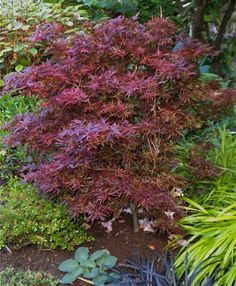 Acer palmatum 'Shaina' in my garden. A great dwarf Japanese Maple with an upright habit a great color that does not fad in summer! For mom's garden Hillside Garden, Garden Trees, Garden Plants, Back Gardens, Small Gardens, Zen Gardens, Japanese Gardens, Acer Trees, Dwarf Japanese Maple