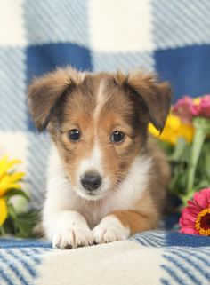 😊🐾 #Cute and very friendly, #Sheltie puppies are alert, smart dogs that love to work and play!! They are kind and patient with children and devoted family pets. ▬▬▬▬▬▬▬▬▬▬▬▬▬▬▬▬▬▬▬ #Charming #PinterestPuppies #PuppiesOfPinterest #Puppy #Puppies #Pups #Pup #Funloving #Sweet #PuppyLove #Cuddly #Adorable #ForTheLoveOfADog #MansBestFriend #Animals #Dog #Pet #Pets #ChildrenFriendly #PuppyandChildren #ChildandPuppy #BuckeyePuppies www.BuckeyePuppies.com