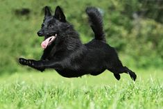 Schipperke - Never saw one with a tail!!  This one kept it's tail! :-)