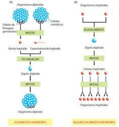 Reprodução Sexuada: Meiose, Células Germinativas e Fecundação