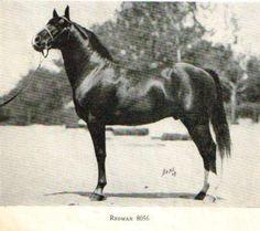 Redman, uno de los sementales sobre los que se fundó la raza American Morgan Horse