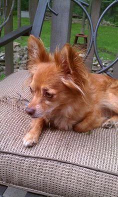 Long haired chihuahua #chihuahua#longhaired#cute omg indy