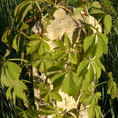 Pictures of Poison Ivy: Vine Plants Similar to Poison Ivy: Virginia Creeper
