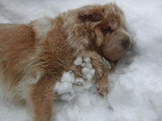 Bear Coat Shar Pei in the snow