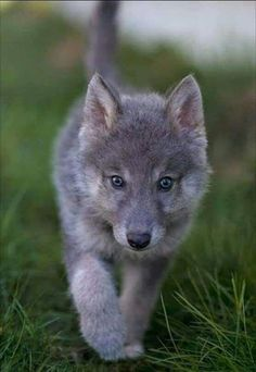 Wolf Photos, Wolf Pictures, Animal Pictures, Cute Funny Animals, Cute Baby Animals, Cute Dogs, Beautiful Wolves, Animals Beautiful, Wolf World