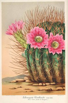 Antiguo francés botánico cactus rosa impresión flor echinopsis ilustración digital-descargar – From Parts Unknown Illustration Cactus, French Illustration, Illustration Botanique, Vintage Botanical Illustration, Cactus Drawing, Cactus Painting, Cactus Art, Botanical Drawings, Botanical Prints