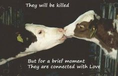 End factory farming Animal rights,  that's heartbreaking and they say they can't feel or have no soul,proof.