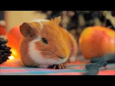 Guinea Pig & Hamster & Ferret Cute Videos
