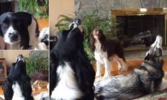 Dogs howl in harmony with each other to produce song #DailyMail