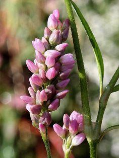 Pennsylvania smartweed (Polygonum pensylvanicum)