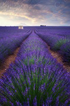Plateau de Valensole, Alpes de Haute Provence.  (crédit photo:  CT productions)