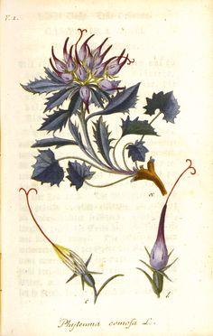 Phyteuma comosa by Jacob Sturm, 1796