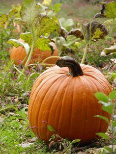 How to Burn Fat With Pumpkins This Halloween Season! Autumn Witch, Autumn Day, Cherry Wood Stain, Pumpkin Varieties, Pumpkin Farm, Mabon, Samhain, Fall Pictures, Halloween Season