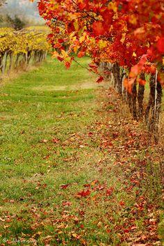 Autumn vineyard that makes Bardolino wine, Verona Province, northern Italy