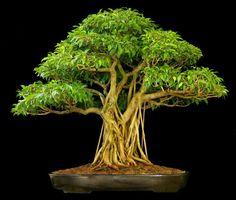 anu sri Bonsai, Ficus Nuda ㊗️ART AND IDEAS : More At FOSTERGINGER @ Pinterest  ㊙️㊗️