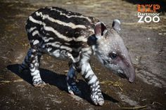 Baby Brazilian Tapir born at Dartmoor Zoo in Devon, England