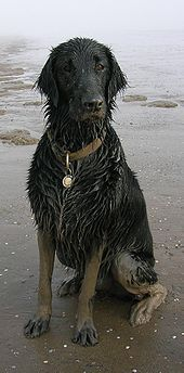 Since looking after Oreo, flat coated retriever is the dog we want! This one looks very happy :)