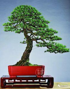 Pine Bonsai, Bonsai Art, Bonsai Trees, Japanese Art, Japanese Gardens, Concrete Pots, Tree Designs, Shrubs, Landscape