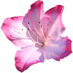 png image of pink daisy transparent - Google Search