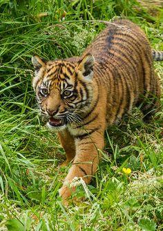 Sumatran Tiger Cub - Flamingo Land    Flickr!