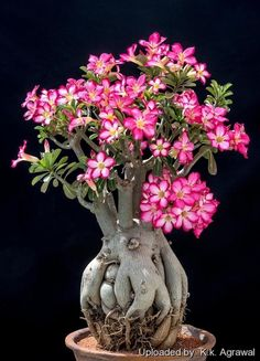 Adenium obesum (Desert Rose) is an evergreen or drought-deciduous, succulent shrub or small tree, usually growing up to 10 feet m) tall. Blooming Succulents, Cacti And Succulents, Planting Succulents, Bonsai Garden, Garden Plants, House Plants, Potted Garden, Succulent Bonsai, Indoor Garden