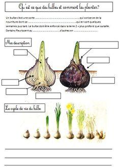 Comment faire pousser des bulbes, description d'un bulbe, les différentes sortes de bulbes. Leçon trace écrite pour CP CE1