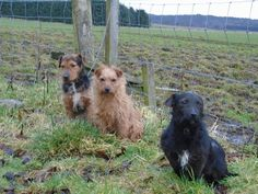 Patterdale Terrier, Terriers, This Is Us, Dogs, Animals, Animales, Animaux, Terrier, Pet Dogs