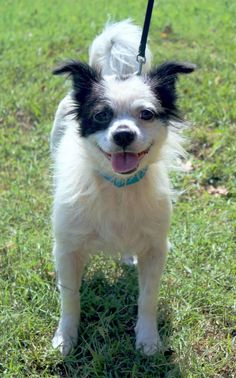 Meet Benji, a Petfinder adoptable Terrier Dog | Enterprise, AL | Benji is a cute Terrier mixBehavior and personalities are based on what we see here at the shelter....