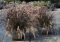 Beste Mehrjahrige Ziergraser Ziergras Winterharte Stauden Mehrjahrige Pflanzen