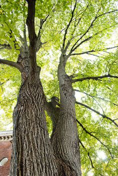 """White basswood (Tilia heterophylla) at the Missouri Botanical Garden - This is a """"Champion Tree,"""" designated as one of the largest in the state of Missouri. This basswood is 103 feet tall and 12.4 feet in circumference."""