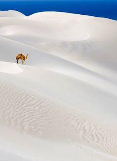 Lonely camel on white sand desert