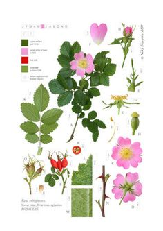Rosa rubiginosa, part of digital flora - digital botanical illustrations by Niki Simpson. Absolutely terrific, check it out at http://www.nikisimpson.co.uk