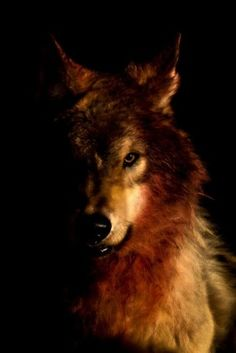 Out of the darkness he hunts, into the light he stalks. The others quivering scatter for the shadow when his rumbling growl breaks the quiet.